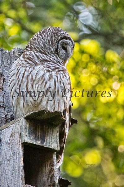 Owl  (33)