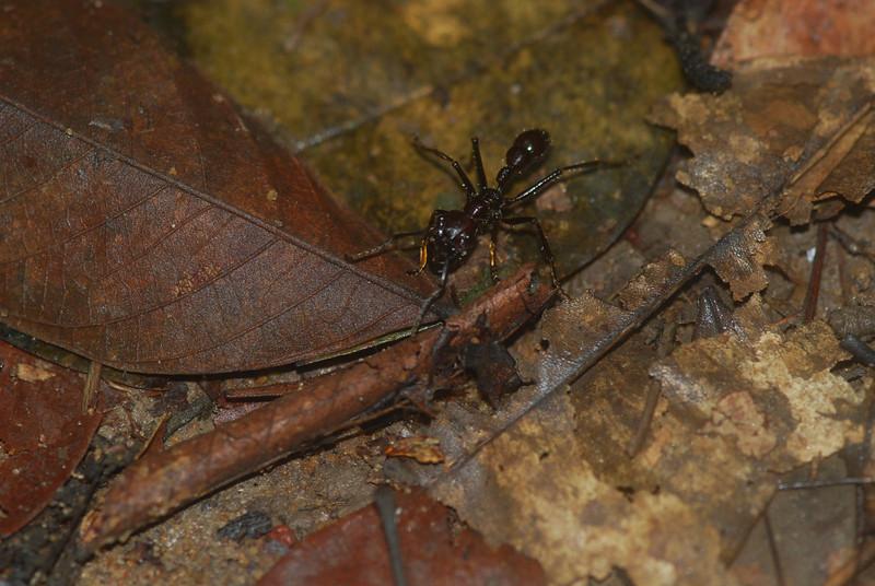 Bullet Ant - Guyana