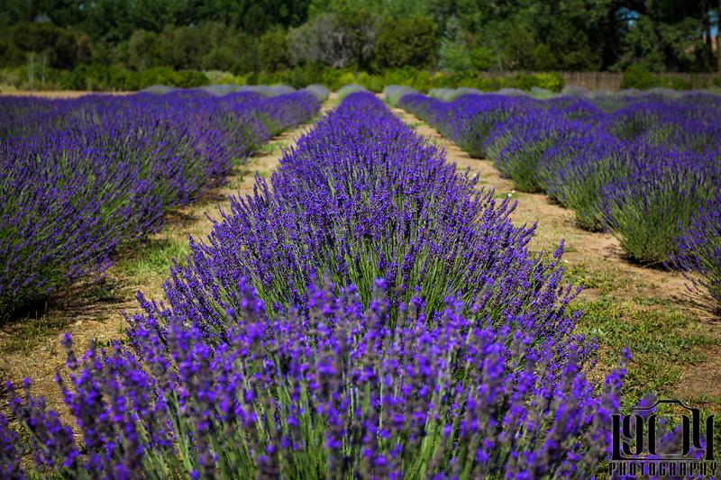 20180719 Lavender.jpg