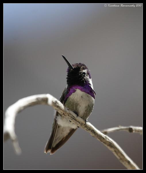Costa's Hummingbird, Palm Canyon Trail, Anza Borrego Desert State Park, San Diego County, California, April 2010