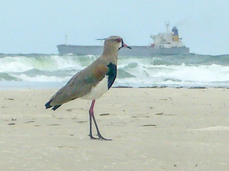 do mel beach bird.jpg