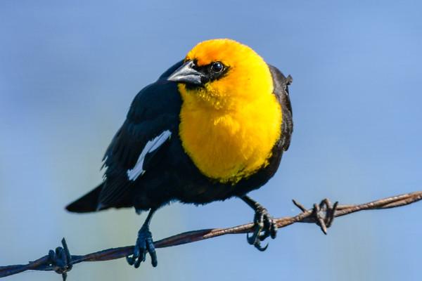 5-14-18 Yellow-headed Blackbird