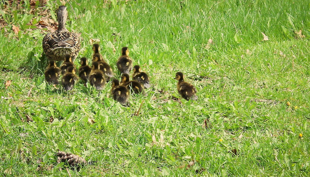 . After two and a half hours of rescue efforts, the mother duck was reunited with her 12 ducklings on May 17 off of Sherwood Ave. and N. Winthrop St. They waddled off shortly after reuniting, scaling the fence of the Hillcrest Golf Course. (Pioneer Press: Raya Zimmerman)