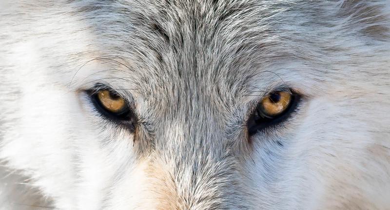 whitewolfeyes-0314.jpg
