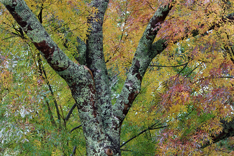 Round 311 Tree in Autumn By Sally.jpg