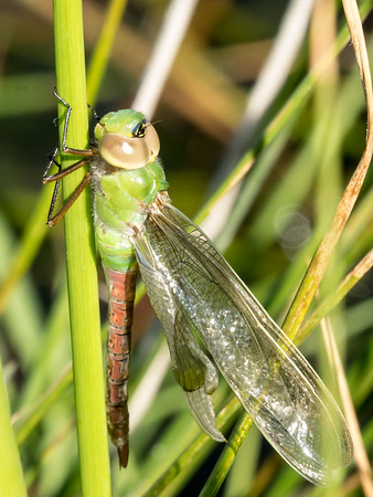 Common Green Darners