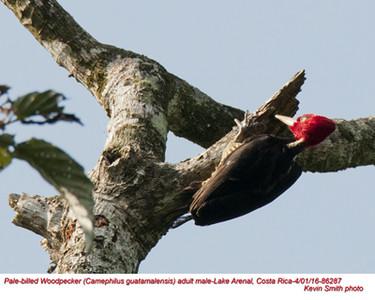Pale-billed Woodpecker M86287.jpg