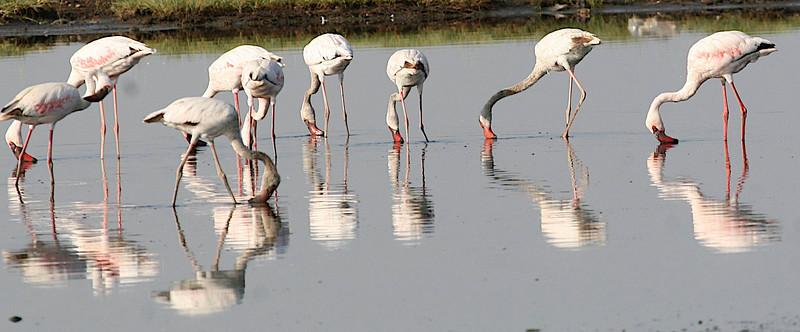 PHOENICOPTERIDAE Flamingos