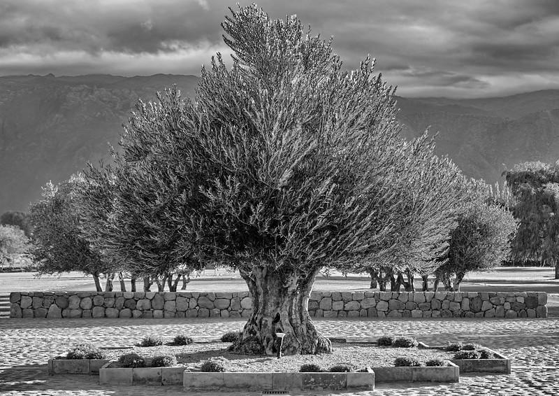 Olivo anciano -  - Salta - Argentina