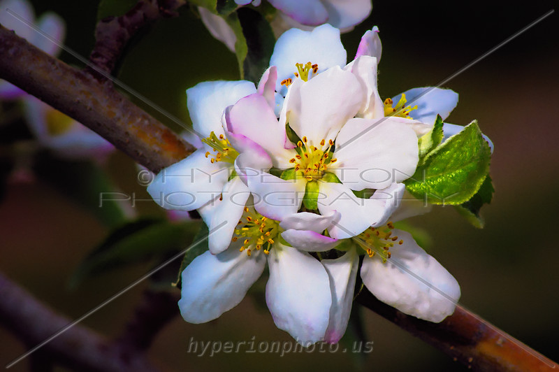 Apple blossom at dawn