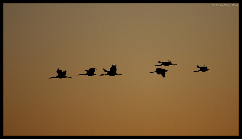 Sandhill Crane early morning silhouette, Bosque Del Apache, Socorro, New Mexico, November 2010