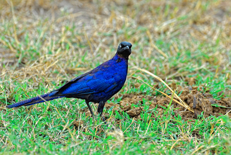 Long-tailed Starling.JPG