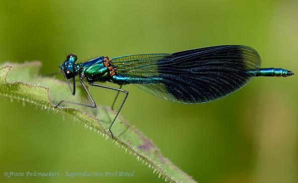 Weidebeekjuffer Caloptéryx éclatant Calopteryx splendens  Prachtlibelle Banded Demoiselle