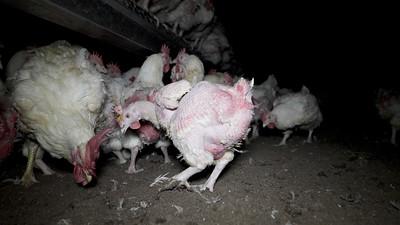 Poules et coqs reproducteurs