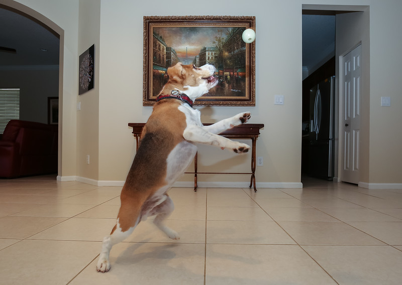 Indoor Antics:  Just in case you thought Brody's antics were strictly an outdoor behavior.