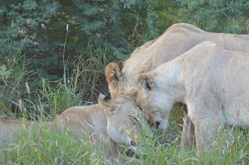 18 - Three Lion friends - Kalahari - Anne Davis
