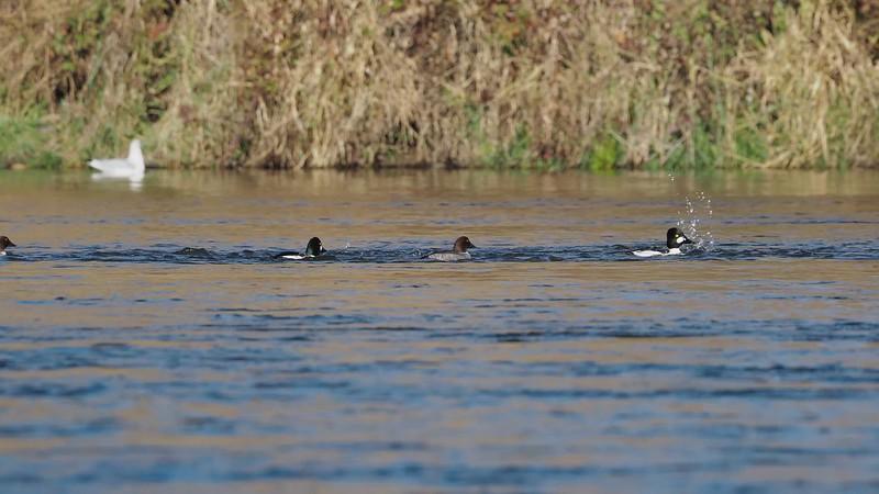 201128-Oroville Fish Hatchery November-284538_mp4.MP4
