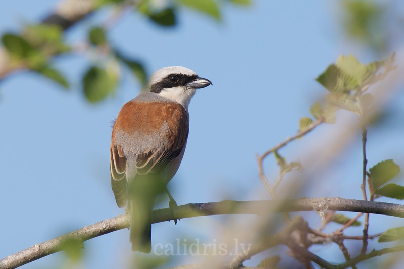 Red-backed Shrike on a perch, male