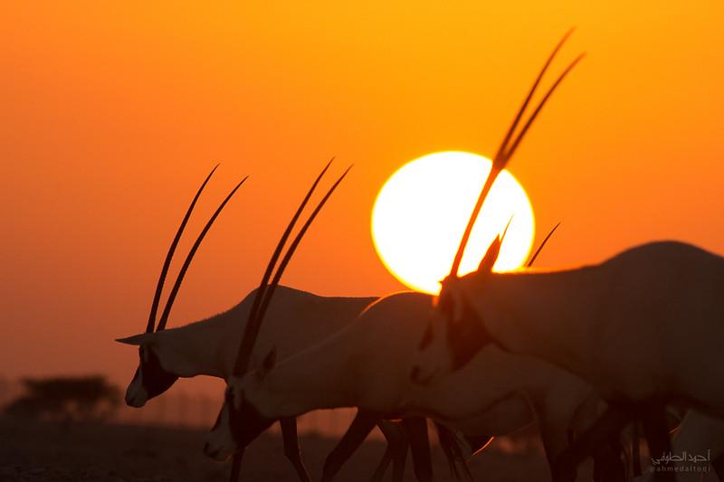 Arabian Oryx (6).jpg