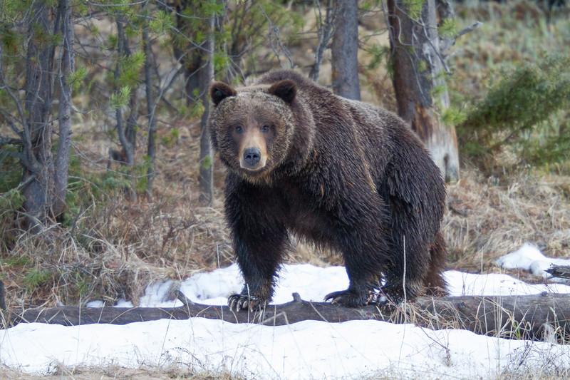 Grizzly bear boar male Yellowstone National Park WY IMG_0499.jpg