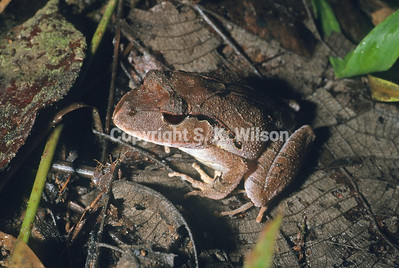 New Guinea Frogs Limnodynastidae (Austro-papuan Ground Frogs, Australian Ground Frogs)