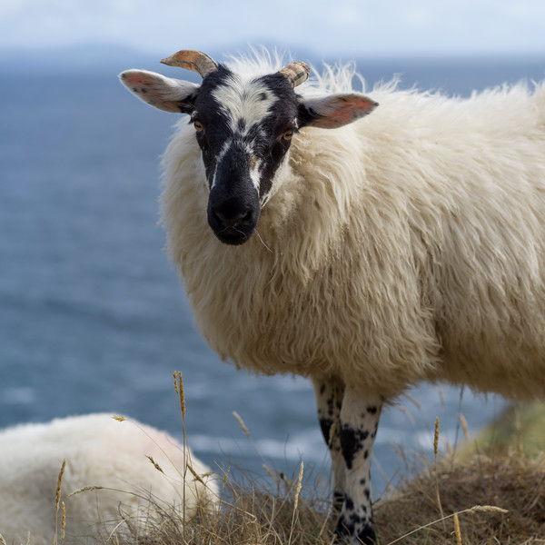 Portrait of Galway Sheep, Ballyferriter, County Kerry, Ireland