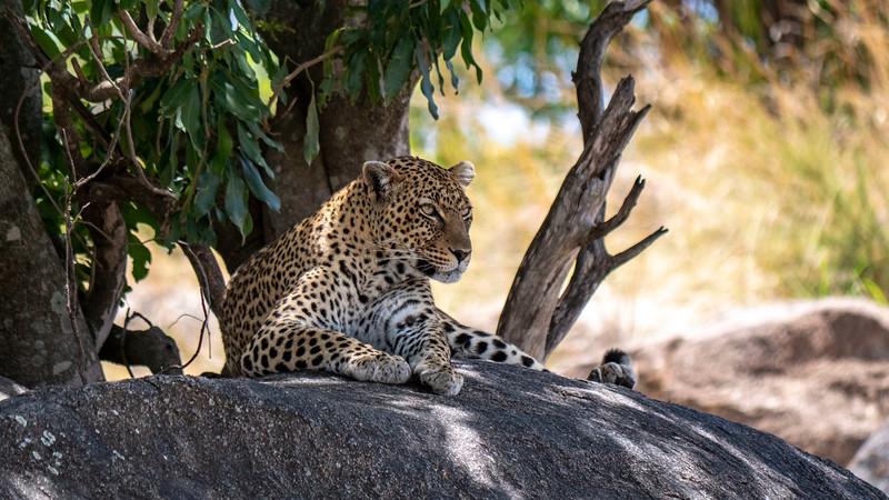 Tanzania-Serengeti-National-Park-Safari-Leopard-01.jpg