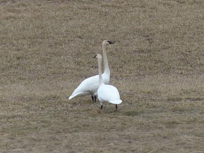 20130411 Trumpeter Swan