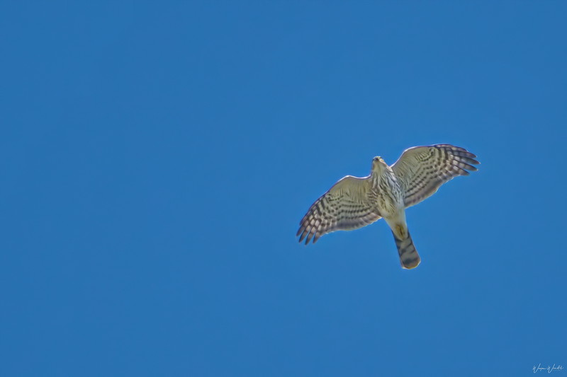Cooper's Hawk (in flight)