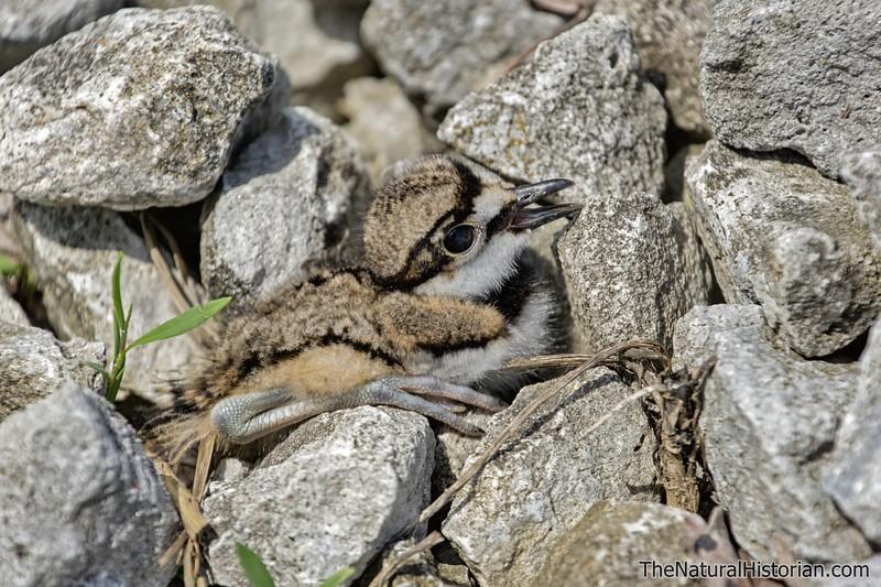 Killdeer-fledgling-justoutofnest-hiding-amongrocks2.jpg