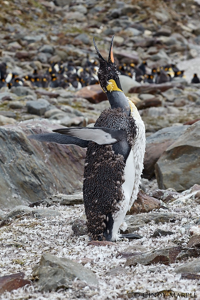King Penguin molting