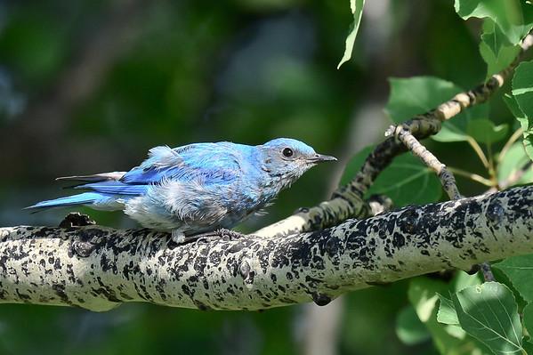 7 2013 July 26 Blue Bird, Cedar Waxwings & Wild Flower*