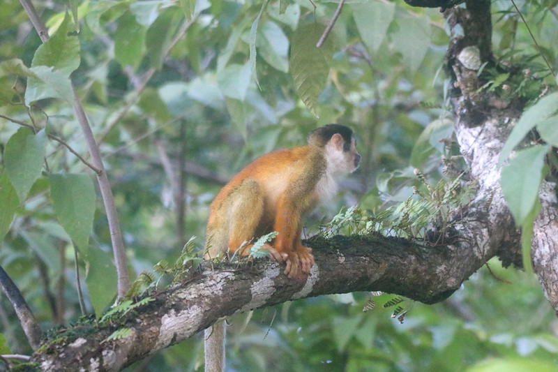 Rare Brown Titi Monkey in Costa Rica