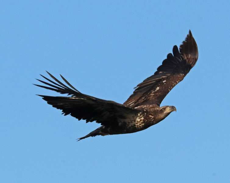 Bald eagle 74