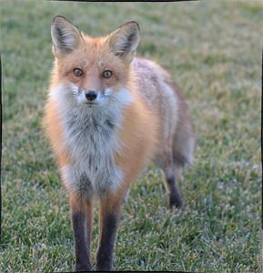 Fox - 2021 - Marion, Illinois