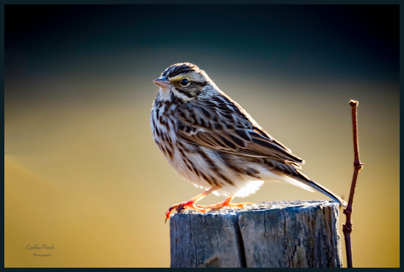 SAVANNAH SPARROW_664A5316.jpg