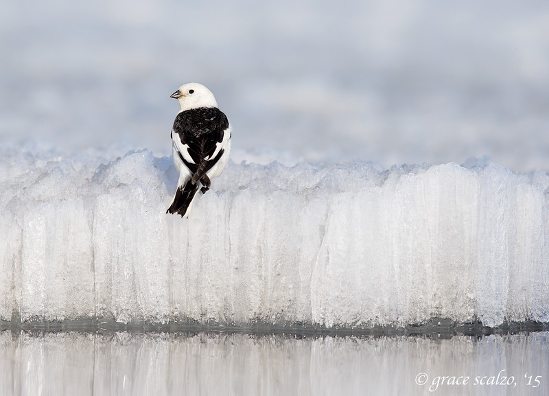 Snow Bunting on Ice