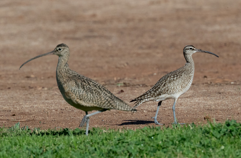 Whimbrel  Long-billed Curlew Rossmoor 2019 01 09-1-2.CR2