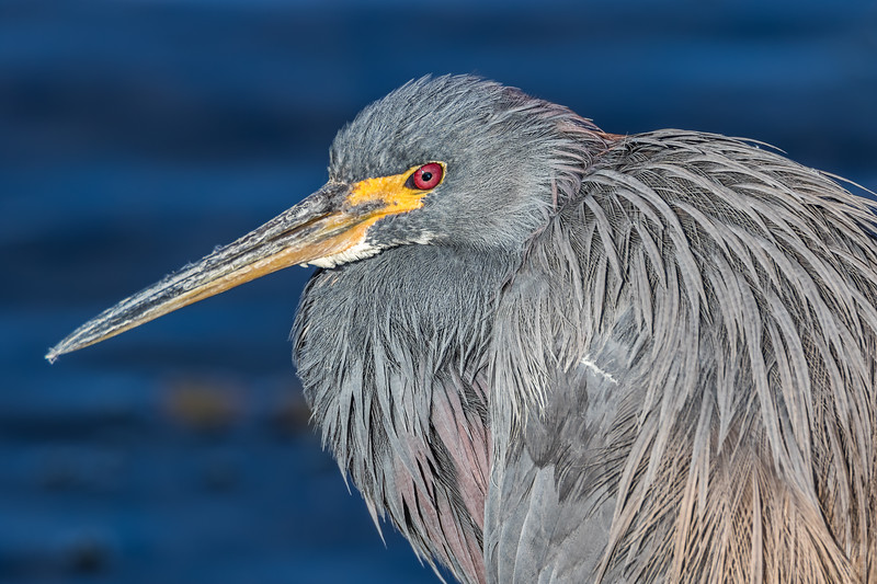 Tricolored heron portait