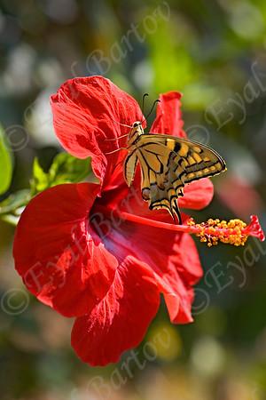 Butterflies & Sphingidae - פרפרים ורפרפים