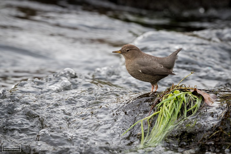 American Dipper in Putah Creek below the Monticello Dam