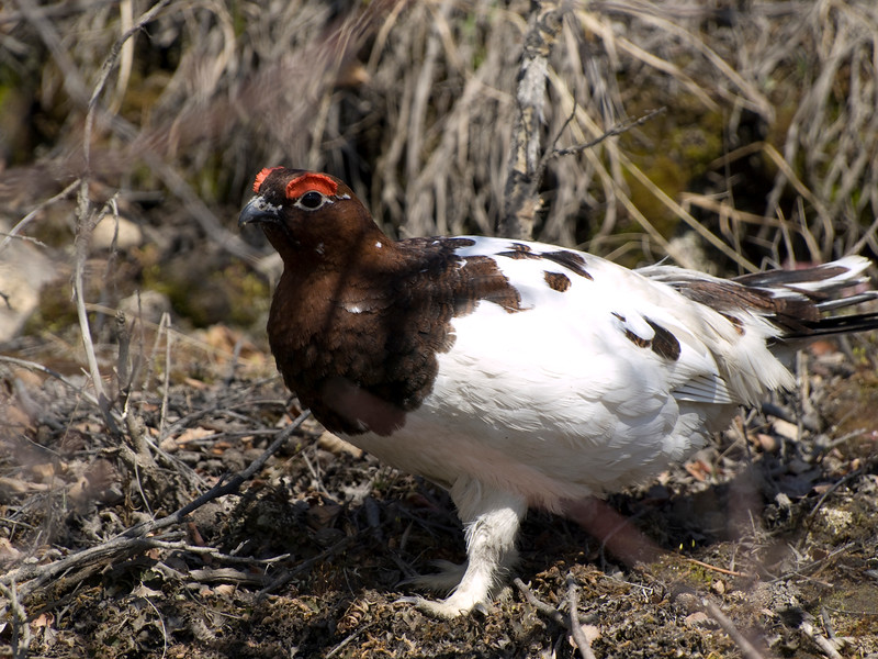 Ptarmigan Alaska State bird photographed in Denali state park