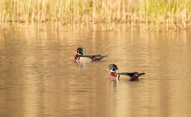 Male Wood Ducks on Golden Pond