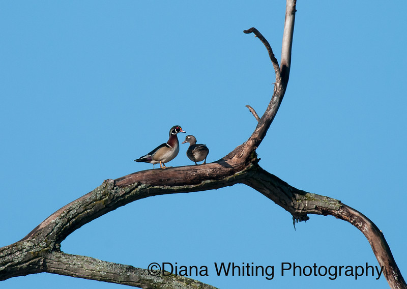 Wood Duck Pair in Tree 4/ 02/12 I love this because normally, they are in a real messy area for a tree shot. They were a mated pair doing some displaying and calling.