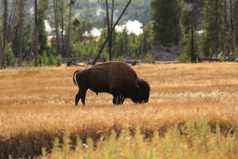 Buffalo along the Firehole River 003