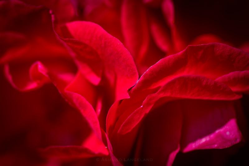 Roseblader