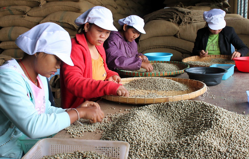 Sorting through the dried beans and separating based on quality
