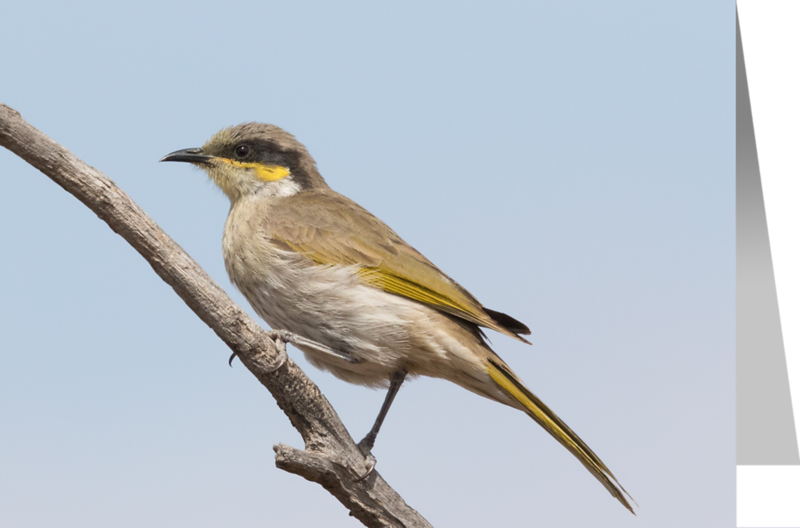Singing Honeyeater.png