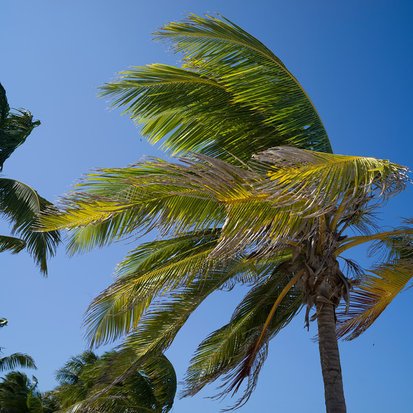 Palm trees swaying in wind, Half Moon Caye, Lighthouse Reef Atoll, Belize