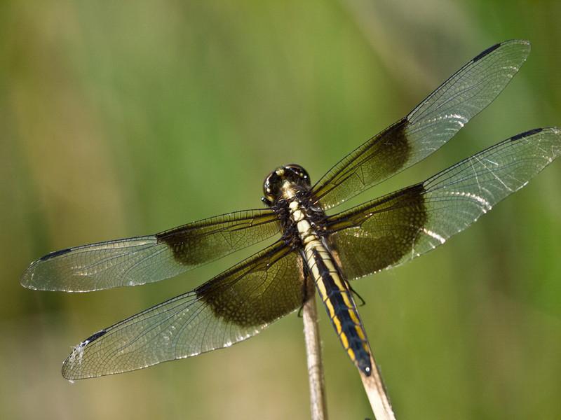 Juvenile male Widow Skimmer.